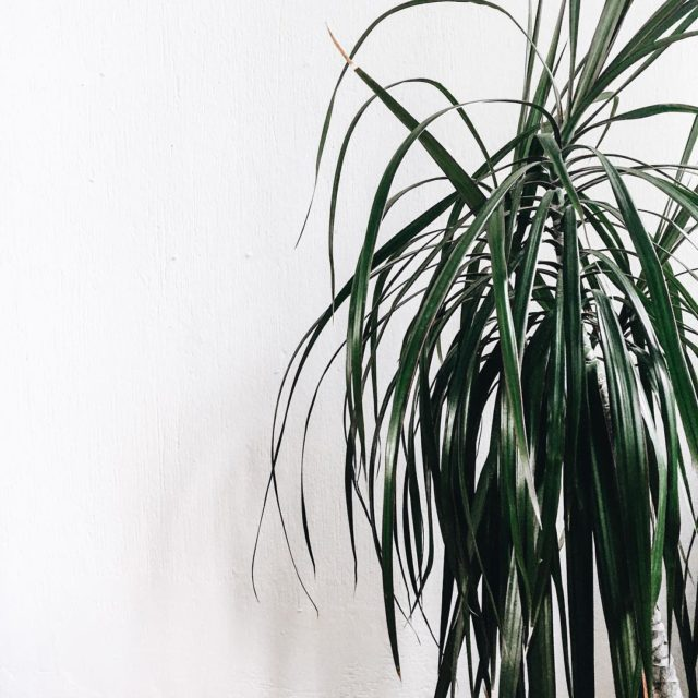 Since we moved to Konlenz this dracaena is growing sohellip