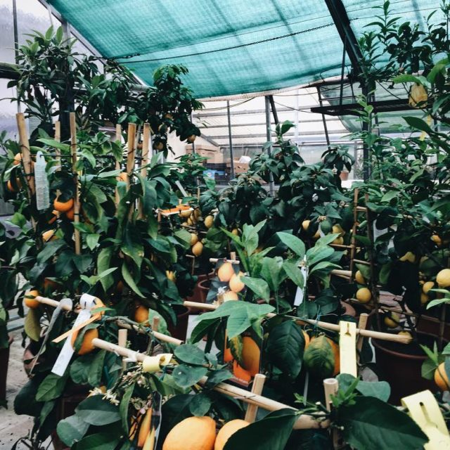 The citrusgarden in Faak carinthia is amazing! More than 210hellip