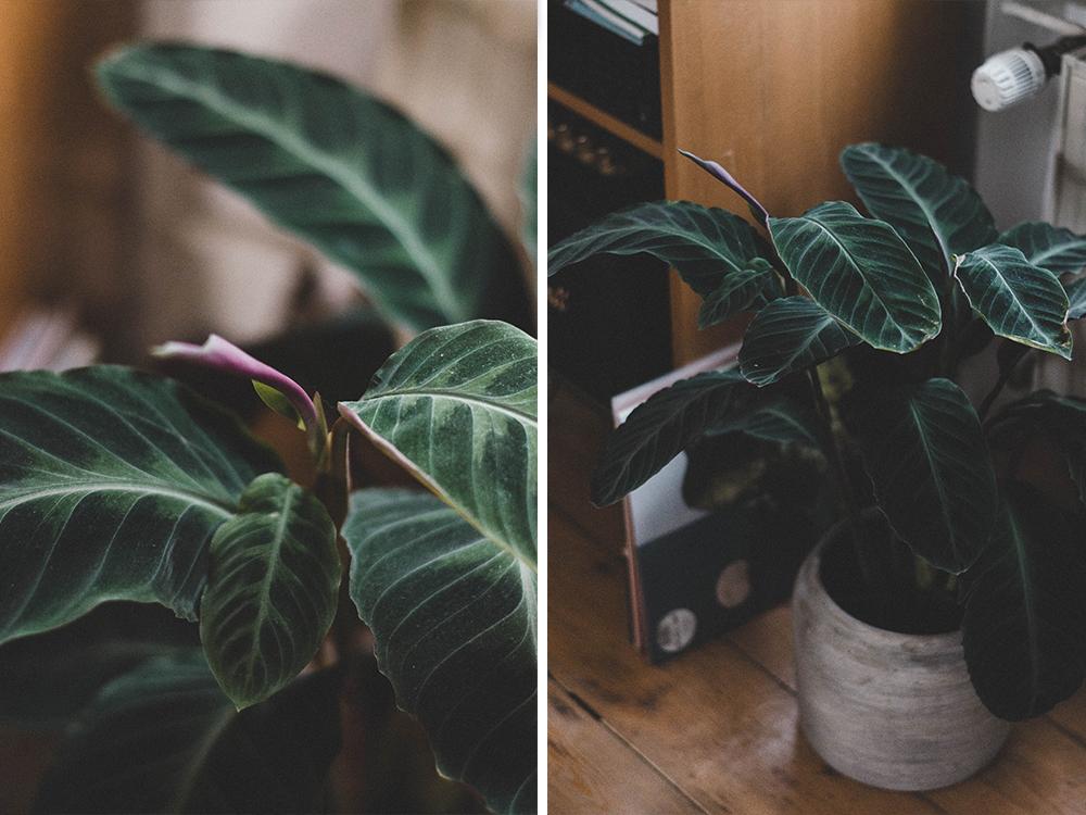 zimmerpflanzen-calathea-korbmarante-pflanze-kakten-kanonierblume urban jungle