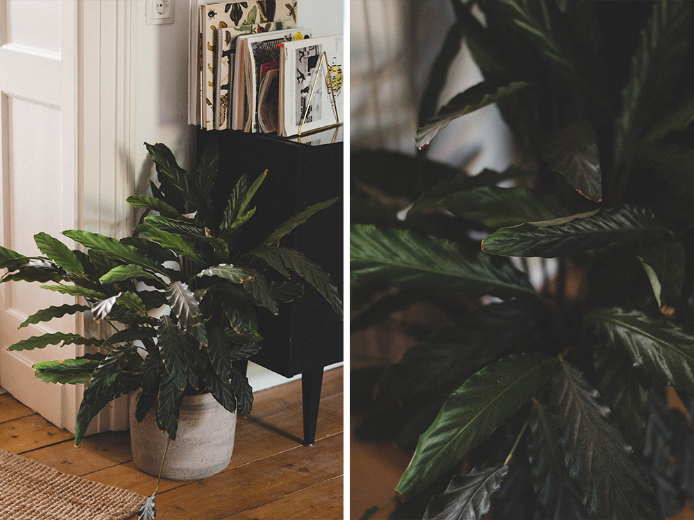 zimmerpflanzen-calathea-korbmarante-pflanze