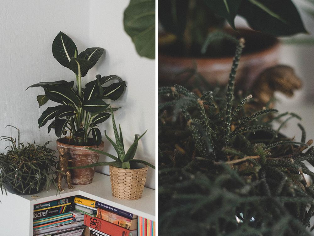 zimmerpflanzen-dieffenbachia-uebertopf-pflanze-kakten-kanonierblume