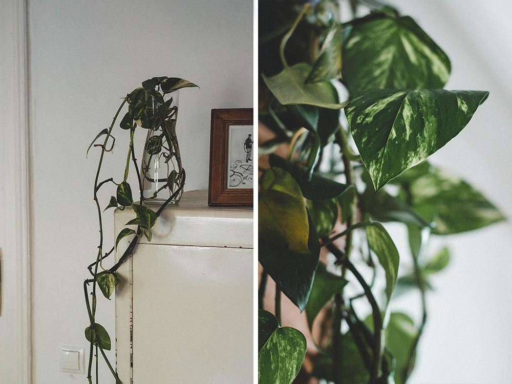 zimmerpflanzen-efeutute-pflanze-kakten-kanonierblume