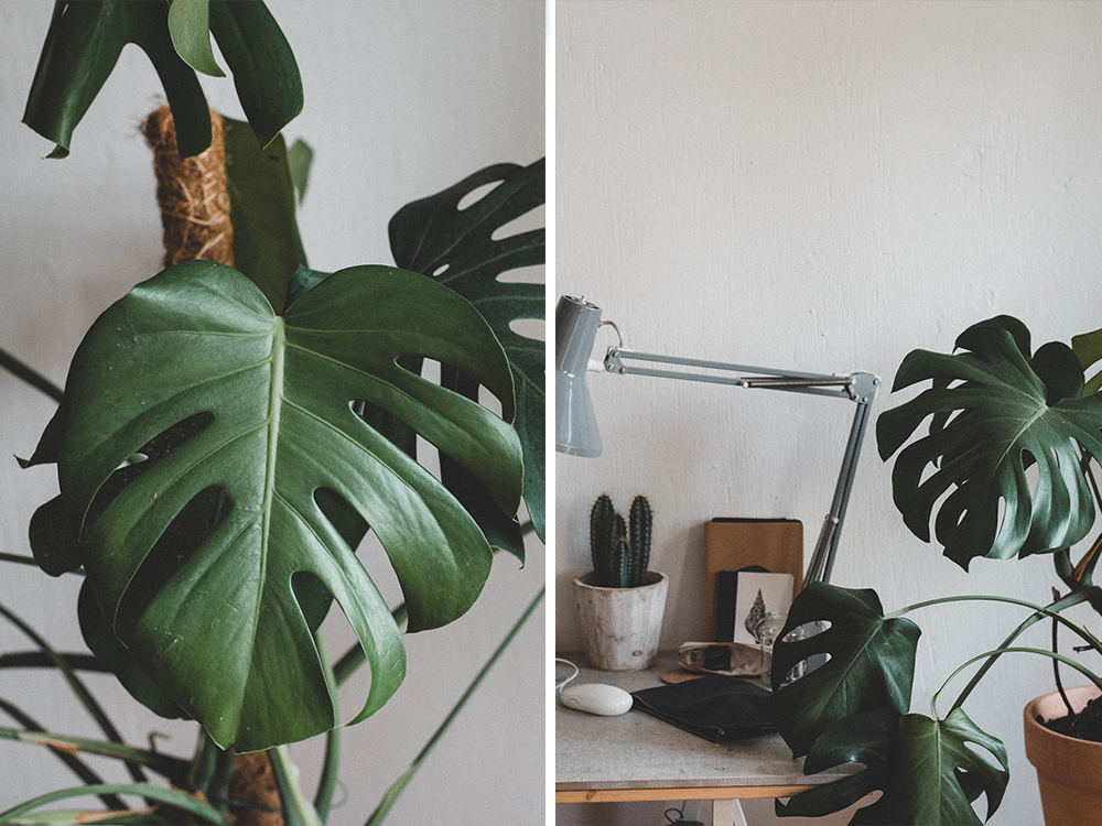 zimmerpflanzen-monstera-fensterblatt-uebertopf-pflanze-kakten-kanonierblume