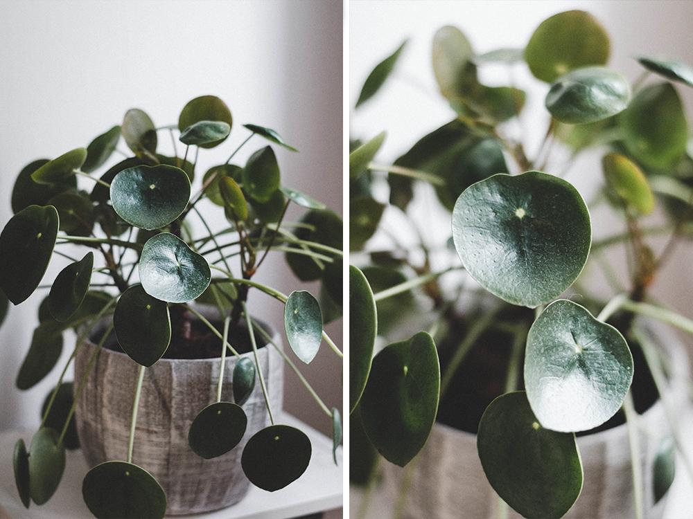 zimmerpflanzen-pilea-pflanze-ufopflanze-peperomioides