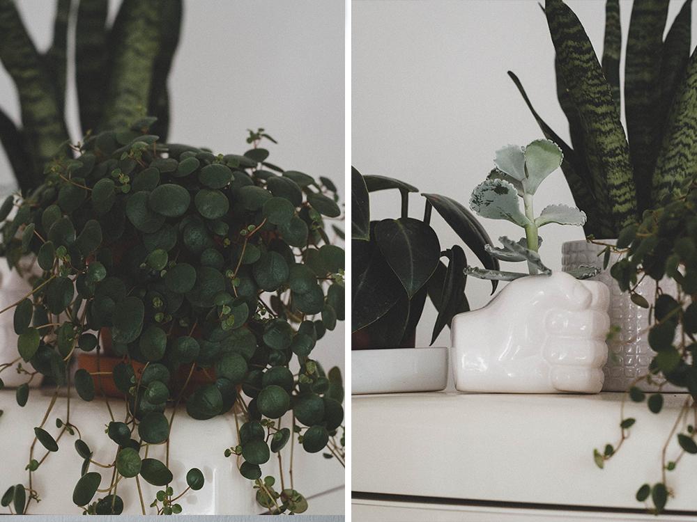 zimmerpflanzen-sukkulenten-sukkulente-pflanze-kakteen-bogenhanf