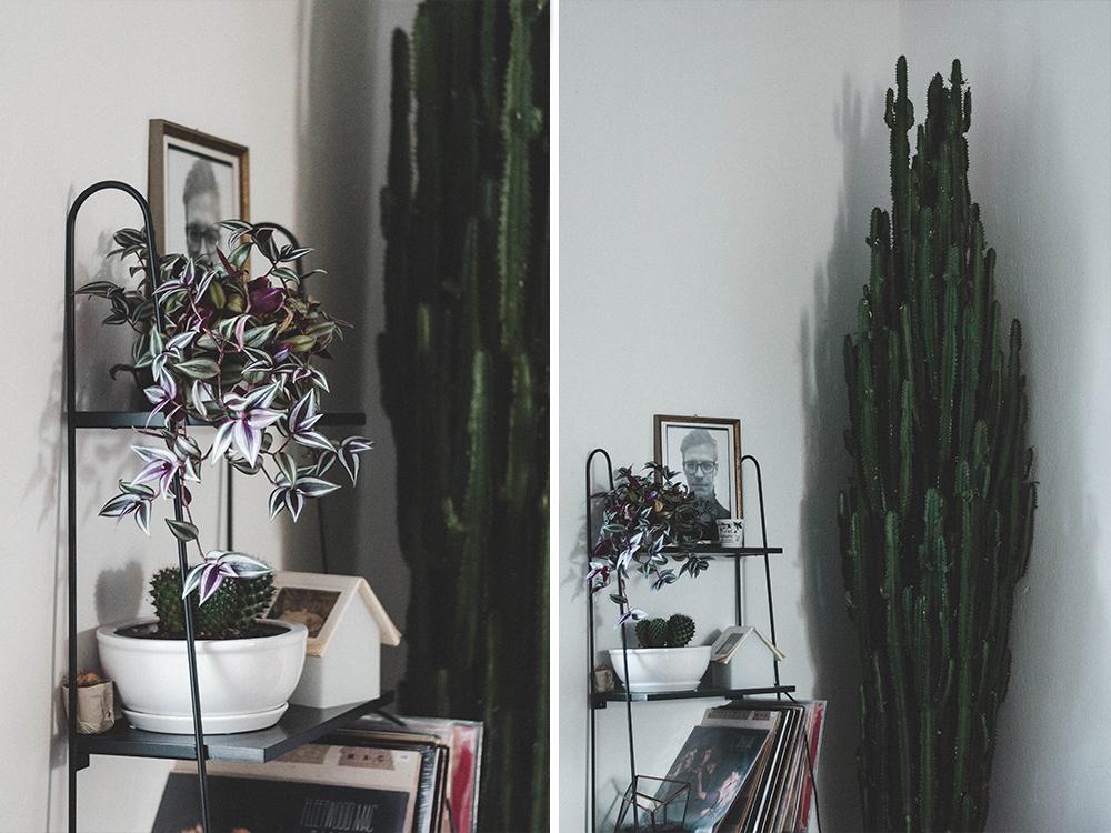 zimmerpflanzen-wolfsmilch-zebrakraut-pflanze-kakteen-riesen-kaktus