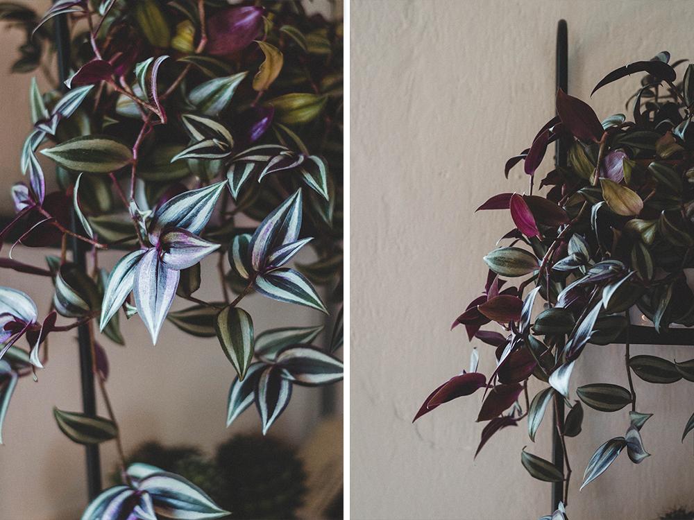 zimmerpflanzen-zebrapflanze-zebrakraut-pflanze
